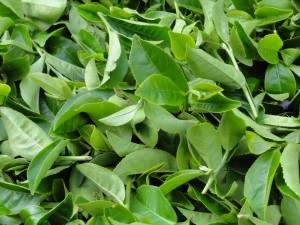 Freshly picked oolong tea leaves (I don't know the specific cultivar). Here is where the magic starts!